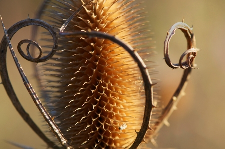 Fuller's Teasel, Fall light