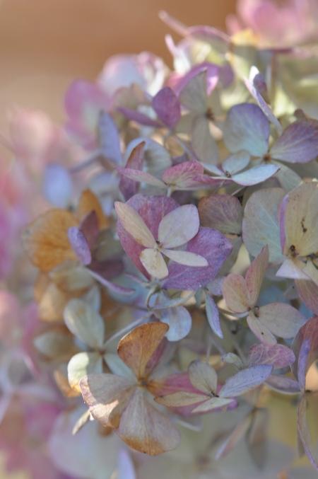 Fall Hydrangea, mophead, gardens