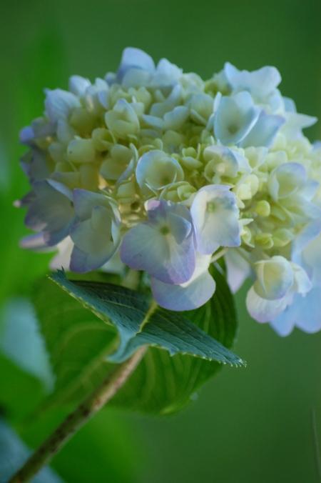 Hydrangea, mophead, flowers, garden