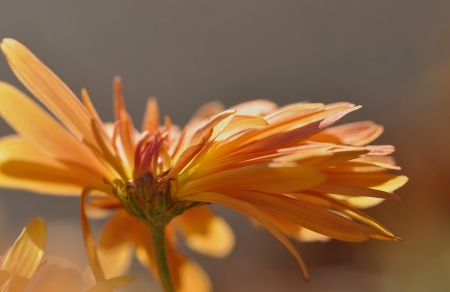 Fall Chrysthanthemum, Fall light