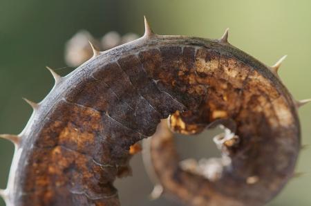 Fullers Teasel leaf, garden